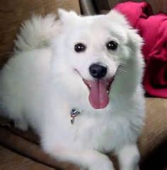 The Miniature American Eskimo Dog is intelligent and fairly simple to train. He learns new commands quickly at an above typical rate.