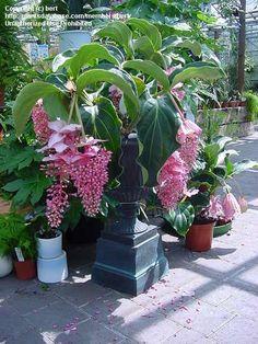 Medinilla Magnifica/Philippine Orchid – Start A Easy Flower Backyard Garden Project - Homemade Ideas (14)