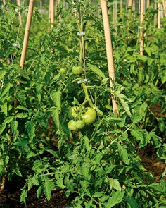 This tomato-staking method consists of white nylon twine supported by bamboo tripods. The vines are attached to the twine with trellis clips. Staking tomatoes allows for a clean, disease- and pest-free crop and even ripening of the fruit, and the clips can be reused each year.