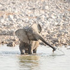 """benmcraephotography: """"2:16 pm. EF Canon 300mm  f/2.8 @ f/3.2 1 / 8000 ISO 100  A young elephant breaks away from the family. He looks like a naughty child who has escaped to a playground. The small elephant wallows in the mud throws water in every direction and enjoys the space his mother has allowed him. He is in heaven and he plays for an hour. His games do not tire and when it looks like exhaustion will set in he wades deep into the centre of the pool. Bubbles pierce the surface as his…"""
