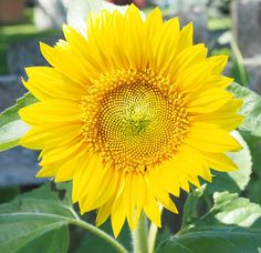 Sunflower; flower photography