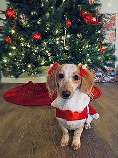 Christmas Dachshund, Dachshunds, Little Ones, Christmas Sweaters, Dog Cat, Pie, Cats, Animals, Torte