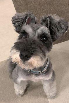 Standard Schnauzer, Miniature Schnauzer Puppies, Schnauzer Puppy, Beagle Dog, Chihuahua Dogs, Teacup Chihuahua, Miniature Dogs, Schnauzers, Adoptable Beagle