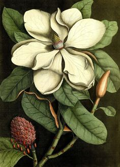 laclefdescoeurs: The Laurel-Tree of Carolina (Magnolia altissima, flore ingenti candido) Mark Catesby The Natural History of Carolina, Florida, and the Bahama Islands, Volume 2 1771 Illustration Botanique, Illustration Blume, Botanical Illustration, London Illustration, Vintage Botanical Prints, Botanical Drawings, Botanical Art, Antique Prints, Flor Magnolia