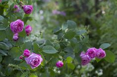 The beautiful bourbonrose 'Coupe de Hebe'