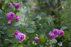 The beautiful bourbonrose 'Coupe de Hebe'
