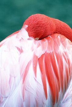 Flamingo - IMG_6316 by mealisab, via Flickr