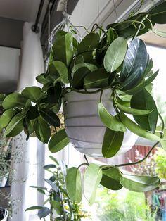 Doftranka (Stephanotis floribunda Apocynaceae)