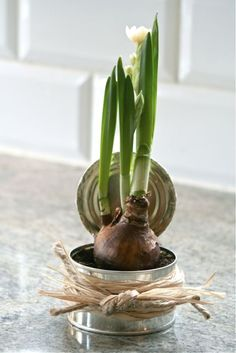 To hurry Spring.....force tiny daffodil or other bulbs you love....!!!!!!