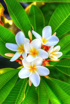 White Singapore Plumerias Photograph by Kelly Wade Art Prints available