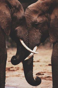 Two Elephants Interlocking Trunks.
