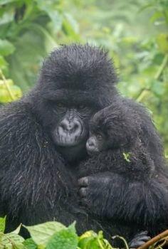 Photographic Print: Portrait of Mountain Gorilla, Gorilla Beringei Beringei, with its Young by Tom Murphy : Primates, Mammals, Cute Baby Animals, Animals And Pets, Dian Fossey, Baby Gorillas, Mountain Gorilla, Mundo Animal, Cutest Animals