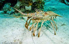 Crawfish by Susanna Girolamo, via Flickr