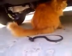 Cat tail fooling a snake - Find and Share funny animated gifs Funny Animal Videos, Funny Animal Pictures, Cute Funny Animals, Animal Memes, Funny Cute, Cute Cats, Funny Videos Of Cats, Crazy Cat Lady, Crazy Cats