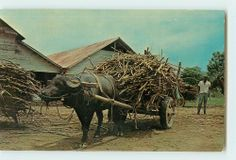 Vintage Postcard Stamp 1963 Water Buffalo Sugar Cane Trinidad W I Water Buffalo, Trinidad, Stamp, History, Rice, Jokes, Sugar, Animals, Vintage