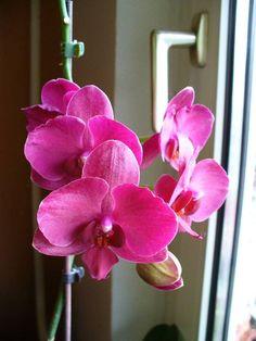 Így mentheted meg a haldokló orchideát | Balkonada Gerbera, Diy And Crafts, Plants, Gardening, Lawn And Garden, Plant, Planets, Horticulture