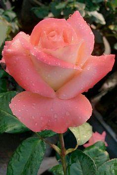 Colorful Roses, Exotic Flowers, Fresh Flowers, Pretty Roses, Beautiful Roses, Foto Rose, Rose Images, Rose Bush, Pink Roses