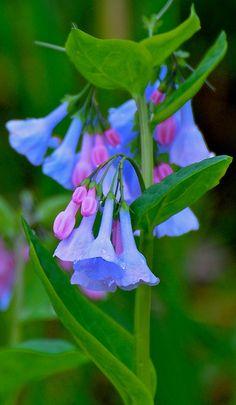 Virginia Bluebells - Mertensia virginica - Geneva IL