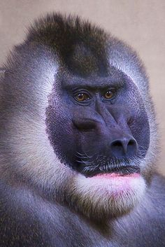 The endangered Drill monkey has an extremely limited range in Africa...