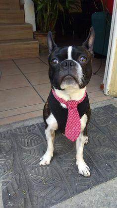 Handsome boston terrier