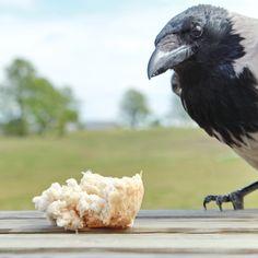 Gråkrage er lidt brødflov