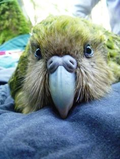 My FAVORITEST Parrot - the Kakapo Parrot (or Owl Parrot) of New Zealand! It is the heaviest parrot in the world. it is also the ONLY flightless parrot and the ONLY nocturnal parrot known to man. The Kakapo P All Birds, Cute Birds, Pretty Birds, Beautiful Birds, Animals Beautiful, Flightless Parrot, Kakapo Parrot, Mundo Animal, My Animal