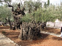 Mount of Olives – Gethsemane Garden – Ancient Olive Tree – Grace Rakow – Join the world of pin Heiliges Land, Terra Santa, Israel Travel, Israel Trip, Mount Of Olives, Olive Tree, Holy Land, Archaeology, Beautiful Places