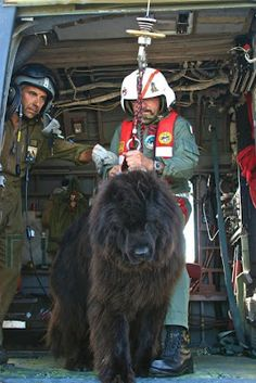 """Getting ready to exit aircraft - Newfoundland water rescue dog who will jump from the helicopter into the water"" -- Newfoundlands are wonderful dogs.  Their fur is extra thick, to keep it waterproof and warm and to help them float better. Omg i want one of these too! I think i have an obsession with extremely huge dogs!"