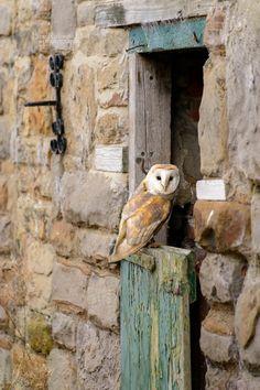 Farmyard Barn Owl by Ben Hull - Owl Bird, Bird Art, Pet Birds, Owl Photos, Owl Pictures, Beautiful Owl, Snowy Owl, Animal Totems, Cute Owl