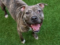 JAKE - A1119071 - - Manhattan  TO BE DESTROYED 08/01/17 **ON PUBLIC LIST** A volunteer writes: Jake is everything a happy young dude should be, curious, sociable and ready to take on the world with a big smile and an even bigger heart. He may have grown up right here in the Big Apple, but he has the soul of a country boy. Nothing sets his tail wagging like time spent outdoors and running, jumping and playing with his people. Reluctantly surrendered to our care from the only