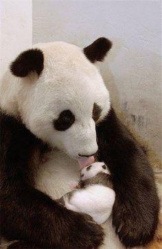 """Jättepanda med unge. """"Idag förekommer den vilt bara i Kina men tidigare fanns björnen även i andra delar av östra Asien."""""""