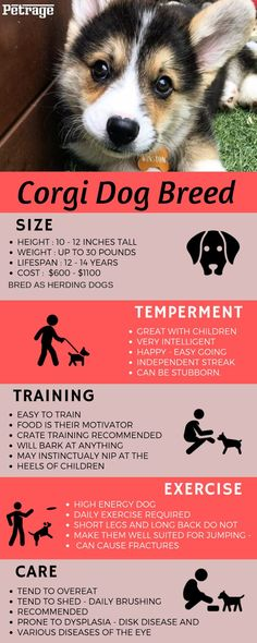 Fast Facts Infographic about this amazing dog breed – size training – temperament – training and care. Corgi Dog Breed& The post Corgi Dog Breed Info Graphic appeared first on Dogs With Brian. Corgi Dog Breed, Dog Breed Info, Corgi Mix, Cute Dogs Breeds, Dog Breeds, Cowboy Corgi, Corgi Facts, Sleeping Puppies, Herding Dogs