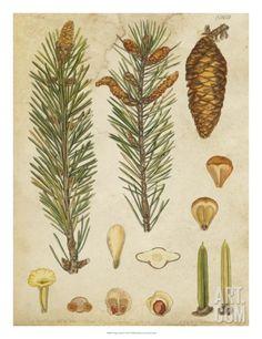 Vintage Conifers IV Giclee Print at Art.com