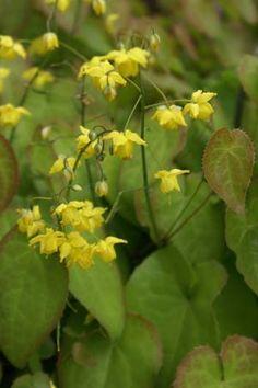 Epimedium flavum x pinnatum colch.