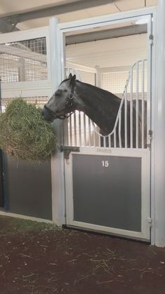 [Video] Trainer said '#Frosted is doing fabulous after his race. He is thriving in #Dubai.