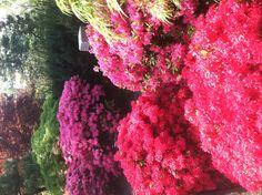 Azaleas, Missouri Botanical Garden, St Louis, MO