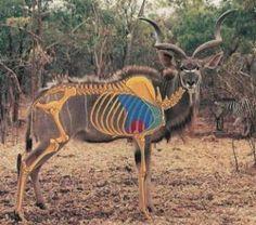 Safari Afrika - Kudu