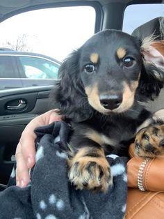 Miniature Dachshunds, Miniatures, Dogs, Animals, Animales, Animaux, Doggies, Mockup, Animal