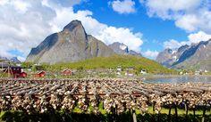 Der Golfstrom und das Nordpolarmeer treffen an der nordnorwegischen Küste aufeinander und bescheren den Lofoten seit Jahrtausenden großen Fischreichtum. Jeden Winter wandern Dorsche aus der Barentssee Richtung Lofoten. Die wichtigste Exportware der Inseln ist traditionell der Stockfisch.