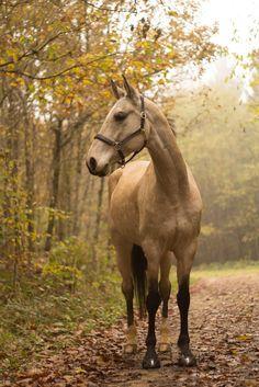 Akhel Teke Buckskin horse... Saw one in person, they're beautiful!