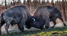 Biisoni testailee puskuvoimiaan Karjalohjalla.