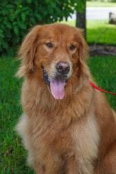 Jake has been adopted! This is Jake and he is 6 years old. He is an owner surrender. He gets along with other dogs, cats and kids, is potty trained, neutered and up to date with vaccinations. Jake is a friendly boy looking for a forever home and is at Golden Retriever Rescue of Southwest Florida.