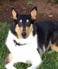 Gabby Smooth Collie, Rough Collie, Collie Dog, Photo Pin, Corgi, Photos, Animals, Pet Dogs, Corgis