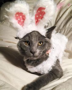 Try to get your cat to hop into this bunny costume.