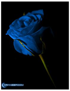 Blue Rose (Sorry, no variety name is included.)  By: ORANGEROOM