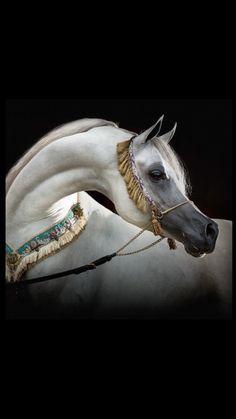 Horse photography - Arabian  horse                                                                                                                                                                                 More