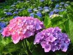 梅雨に咲く花 (社員ブログ更新) だんだんと暑い日が多くなり、ジメジメした梅雨の時期が近づいてきました。そんな時は梅雨の時期に咲く花「アジサイ」の観賞をしては。。。