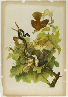 Ferruginou's Thrush Artist:John J. Audubon, American, 1785-1851 Lithographer:Julius Bien, American, 1826-1909 Publisher:Roe Lockwood  Son Medium:Chromolithograph Dates:1861 Brooklyn Museum