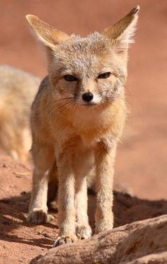Yo vi a kit zorro en el desierto. Lo estuvo muy adorable.