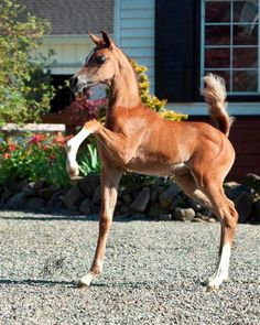 Arabian foal practicing her dressage